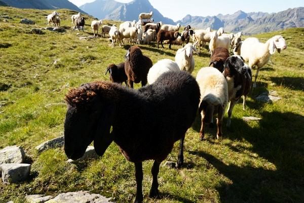 Neugierige Schafe begrüßen mich