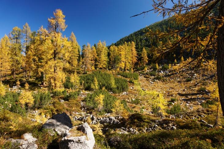 Innerhalb von nur 5 Tagen wandelten sich die Lärchen von blassgrün in goldgelb.