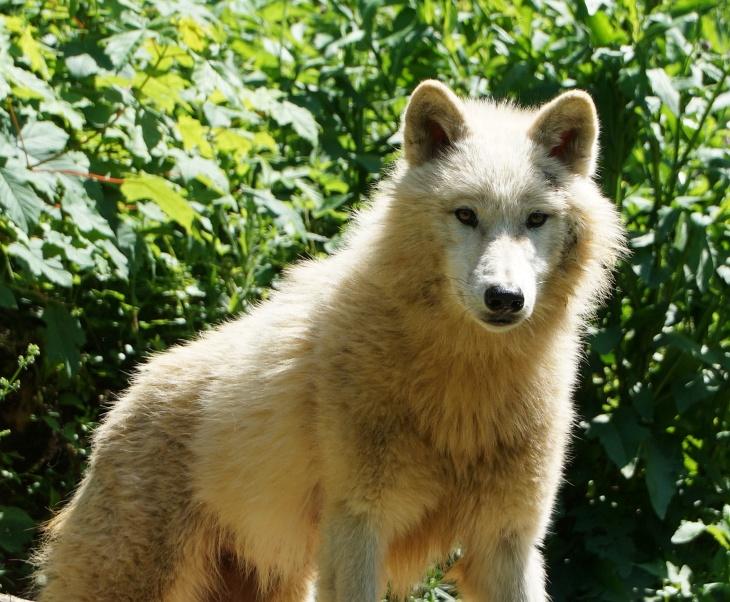 Ein Polarwolf zeigt sich im Gestrüpp seines Geheges.