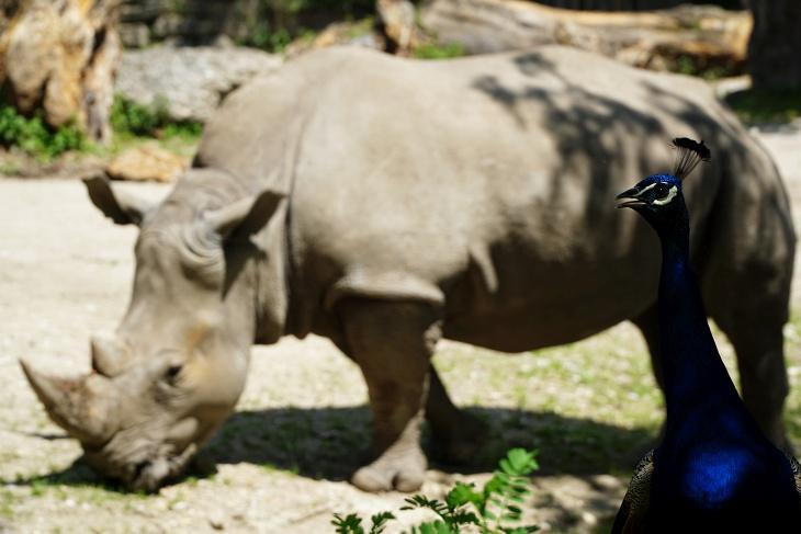 Rufender Pfau vor dem Nashorn-Gehege