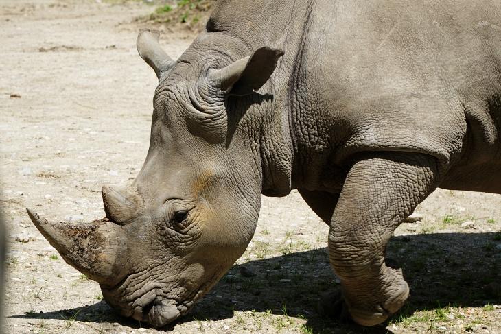 Im Gegensatz zu den Raubtieren ließen sich die Nashörner im Afrika-Bereich gerne ablichten