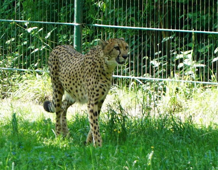 Ein Gepard zieht seine Runde