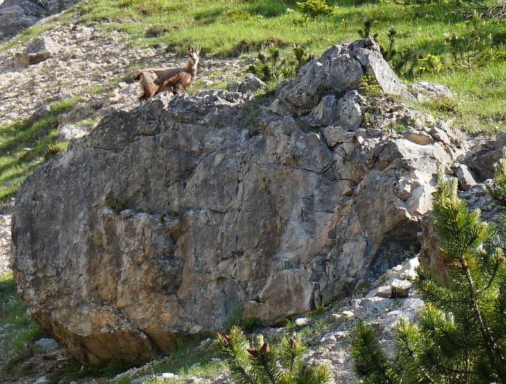 Gams beim Aufstieg nach der Silberkarhütte