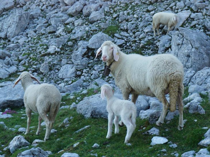 Der morgendliche Wanderer ist dem Lamm nicht ganz geheuer.