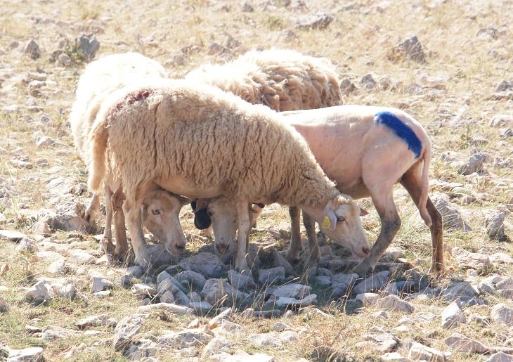 ... von Schafen stammen. Übrigens nicht irritieren lassen: Die Farbmarkierungen auf den Schafen haben keinen Zusammenhang mit den Farbmarkierungen der Wanderrouten :-)