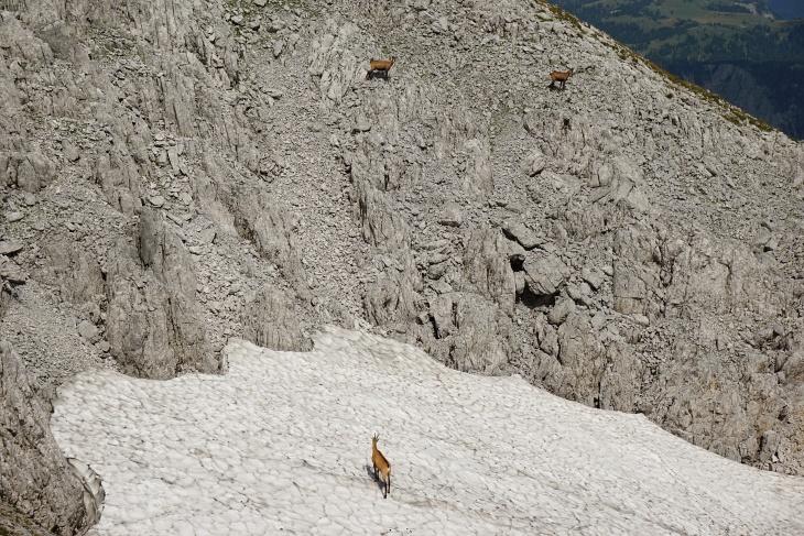 Gämse in den Felsen und auf Schneefeldern
