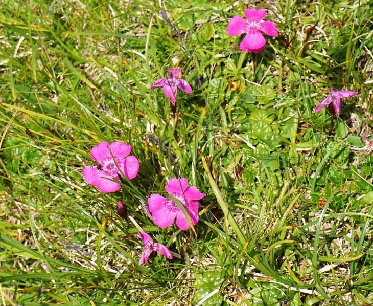 Alpenblumen am Hochplateau