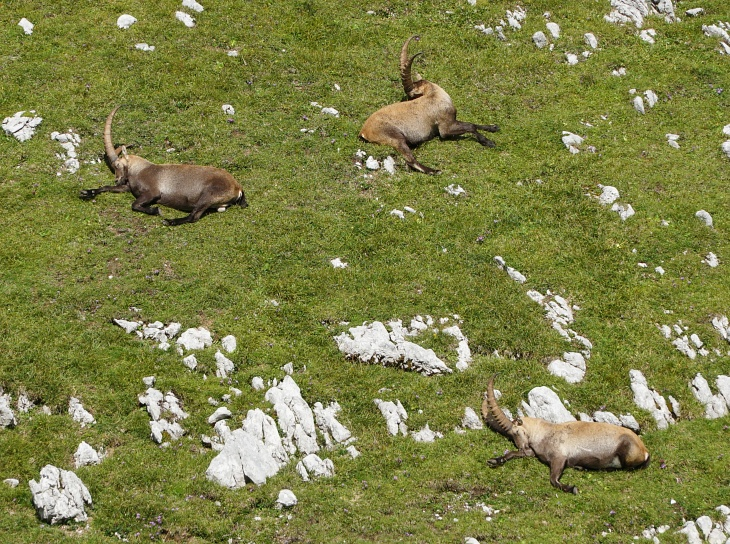 Manche Tiere liegen regungslos auf den windgeschützten Hängen ...