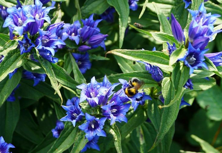 ... bis zur Edelbodenalm, wo ich neuerlich aufgehalten werde. Wiederum von Getier: Dieses Mal sind es Hummeln , die immer wieder in den Blütenkelchen wunderschöner blauer Blumen verwinden ...