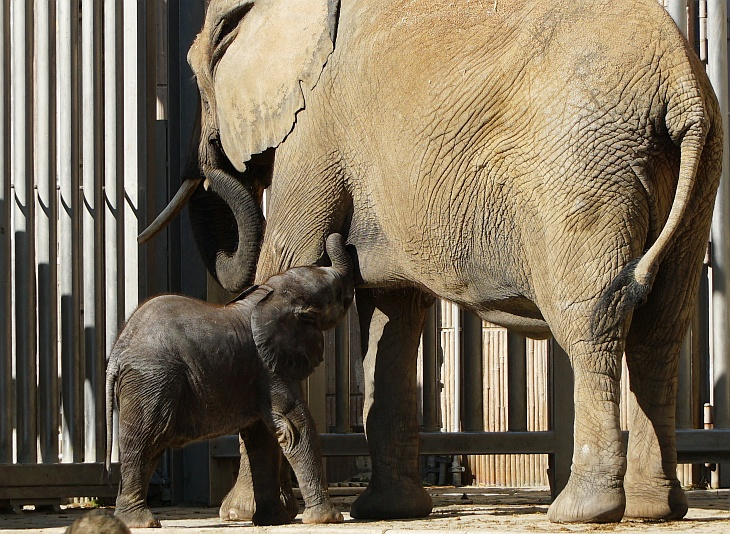 ... und gelegentlich ein paar Schlucke bei Mama trinkt. Was wir vorher nicht wussten: Bei Elefanten wird vorne gesäugt.