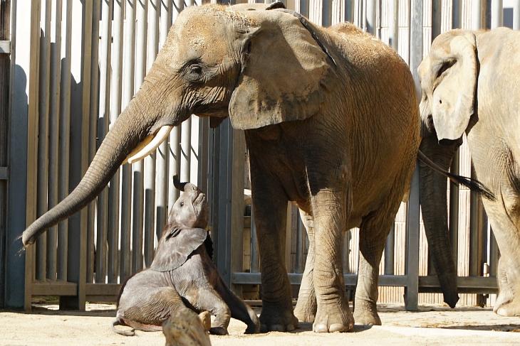 Entzückendes Elefanten-Mädchen / Baby Kibali.