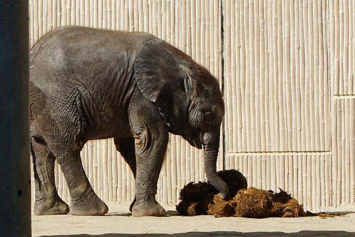 Elefantenkothaufen haben es Kibali besonders angetan.