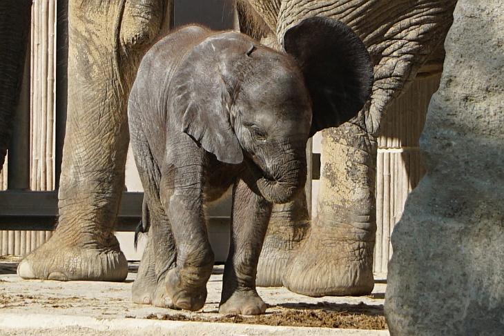 Ein kleines, noch nicht einmal 2 Monate altes Elefantenmädchen war die Hauptmotivation für unseren heutigen Tiergarten-Besuch in Wien