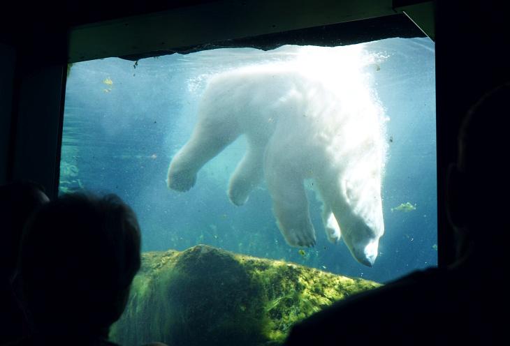 Der Eisbär kann mit seinen enormen Pranken gut tauchen.
