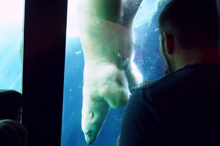 Der massige Eisbär wirkte bei seinem Tauchgang sehr elegant - er ließ sich aber im weiteren Tagesverlauf nicht mehr blicken.