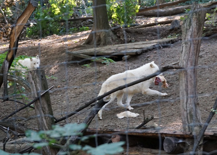 Von der Wolfsfütterung hätte ich mir mehr erwartet, nach dem eindrucksvollen Geheul mit dem sie uns heute im Tiergarten Schönbrunn begrüßt hatten.
