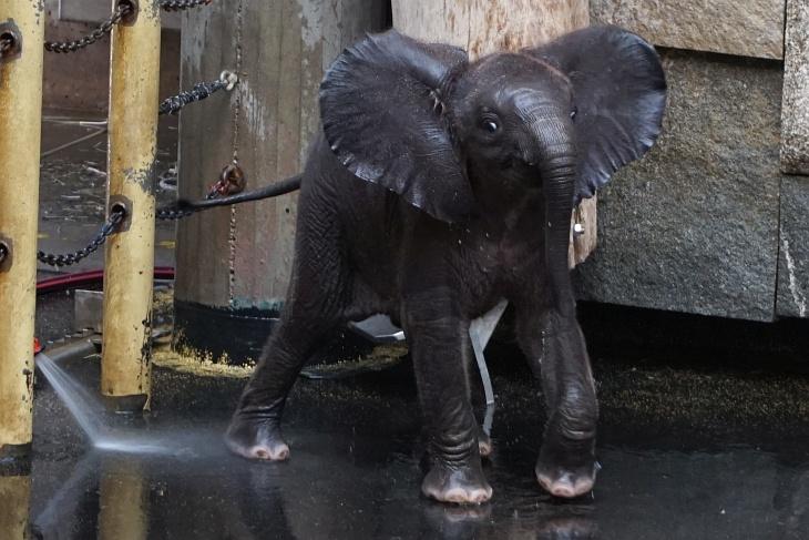 Zurück bei der entzückenden Kibali, die nun im Elefantenhaus herumtollt.