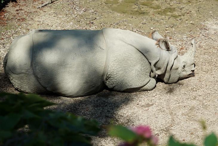 Besonders aktiv ist das Nashorn ja nicht gerade.