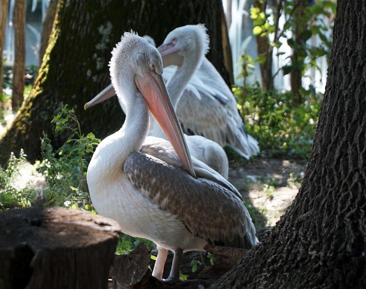 Der Pelikan ist ein beeindruckend großer Vogel.