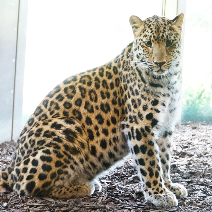 Außerhalb der Fütterungszeiten ist es eher ein Zufall, wenn man größere Raubtiere etwas aktiver erlebt, so wie einen der 3 Amurleoparden.