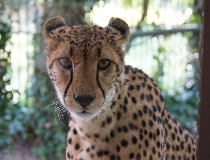 Unerwartet stehen wir plötzlich Aug in Aug vor einem Geparden, getrennt nur durch eine (leider) spiegelnde Glasscheibe.
