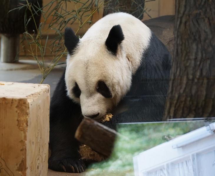 Einen der Großen Pandabären treffen wir beim Fressen an.
