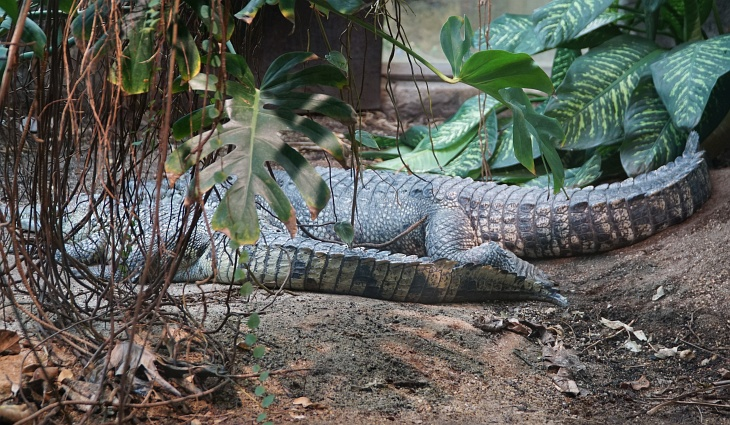 Träge Krokodile sind im Krokopavillon ebenso untergebracht ...