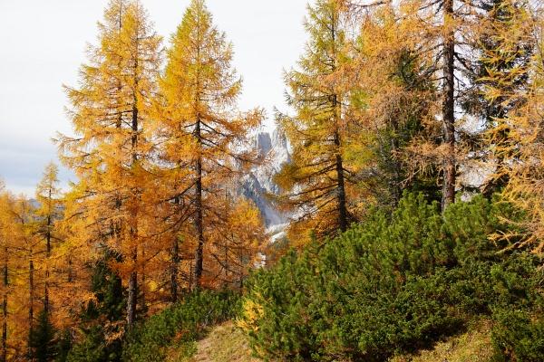 Durchblick im lichten Lärchenwald zur Bischofsmütze