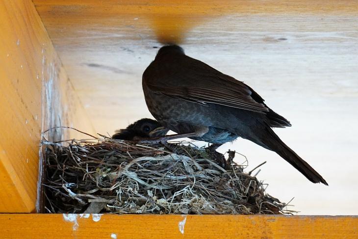 Am 02.06.2020 zu Mittag wirkt Eilin etwas verdutzt, weil sie nur mehr ein einziges Küken im Nest vorfindet. Und auch die kleine Ylvie wird wenig später nur mehr außerhalb des Nests stehen, die Terrasse an diesem Tag aber noch nicht verlassen.
