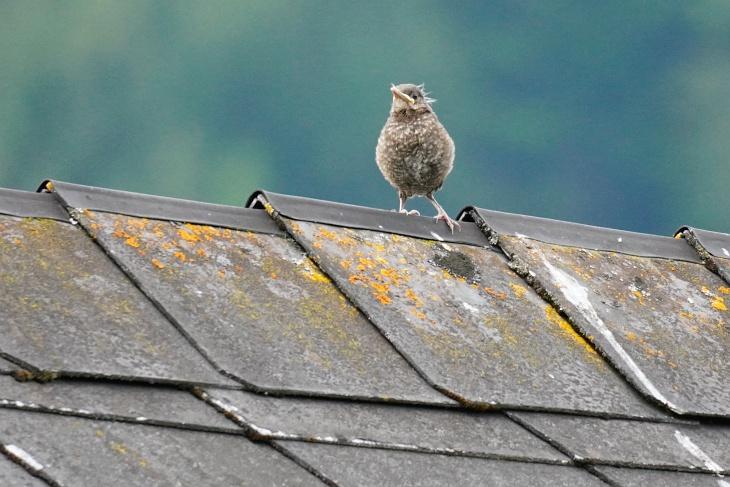 ... dann geht es mit bereits erstaunlich geübtem Flügelschlag hinüber auf das Nachbar-Dach ...