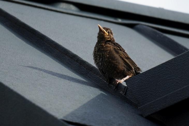 Auf unserem Hausdach kann sich Moritz aber nicht lange halten und rutscht hinab ...