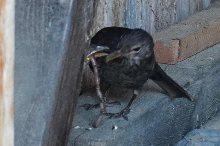 ... und füttert das kleine Schnäbelchen mit einem fetten Wurm.