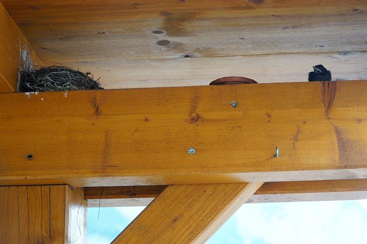 Und dann verlässt am 02.06.2020 um 16:00 Uhr auch noch unser kleines Neshäkchen Ylvie das Nest und ruft mitleidserregend nach ihrer Mama. Sie geht dann den ganzen Tag nicht mehr ins Nest und beruhigt sich auch wieder, nachdem ihre Mutter einige Male mit Würmern gekommen ist. Bis zum Einbruch der Nacht steht sie auf dem Balken außerhalb des Nests und kackt uns darunter alles voll. Quasi ein Auszug mit Sicherheitsnetz - wir sind aber froh, dass sie noch eine Nacht zum Kräftesammeln in sicherer Umgebung bleibt.