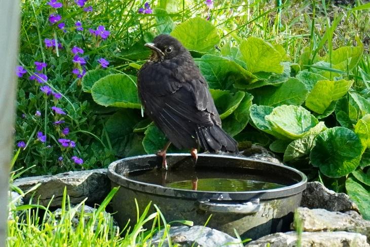 Amsel beim Vogelbad