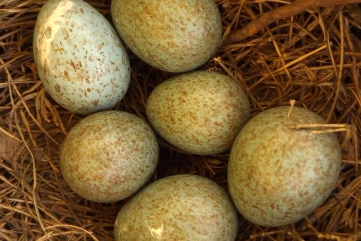 11.05.2020: Nach dem Krähen-Erkundungsbesuch habe ich wieder einmal einen Blick ins Nest geworten. Gottseidank sind noch alle Eier da. Nur eines wirkt auffallend blasser als die anderen 5.
