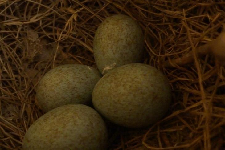 5.5.2020: Das Nest füllt sich - Ei 4 ist hier