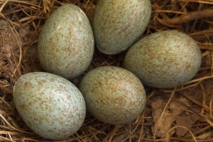 06.05.2020 - kurz vor Mittag: 5 Eier - handelt es sich um ein typisches durchschnittliches Amselgelege, dann ist das Nest nun komplett.