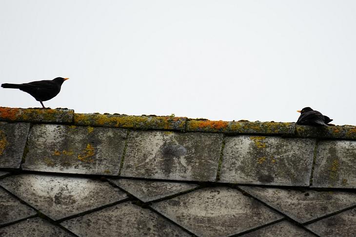 Amsel-Männchen auf einem Hausdach