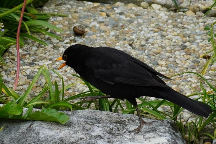 Theoderich duldet kein anders Amsel-Männchen neben sich und verjagt auch viele andere Vögel. Und gelegentlich legt er sich auch mit einer Schneck an. Man beachte den gekonnten Kung-Fu-Ausfallsschritt und den Kampfschrei.