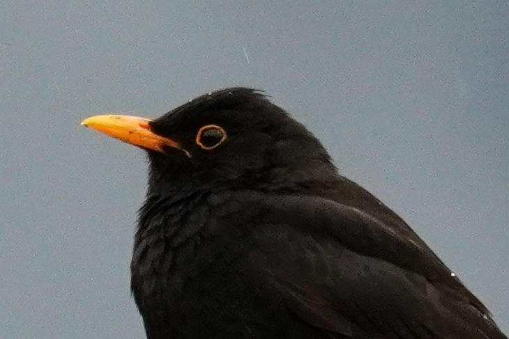 Der Schnabel von Theoderich ist oranger als bei vielen anderen Männchen.