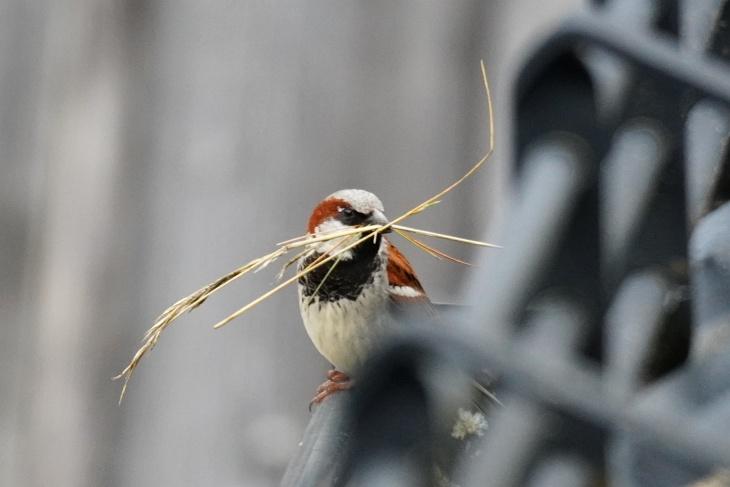 Wie lange bauen Spatzen eigentlich an ihrem Nest. Oder ist das schon wieder ein anderer? Der schwarzen Brustzeichnung nach wahrscheinlich schon.