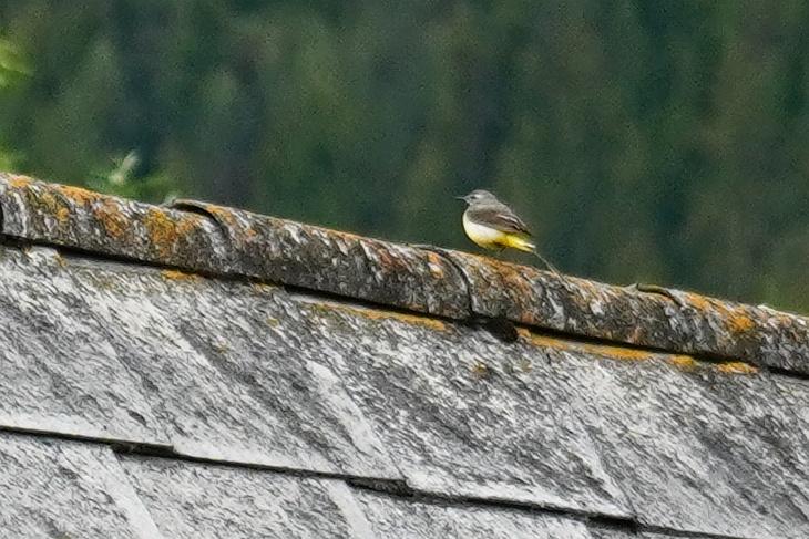 Erst auf der Fotovergrößerung bemerkte ich, dass es sich bei diesem Vogel gar nicht um den vermuteten Spatz handelt. Stattdessen gehe ich von einer Gebirgsstelze aus.