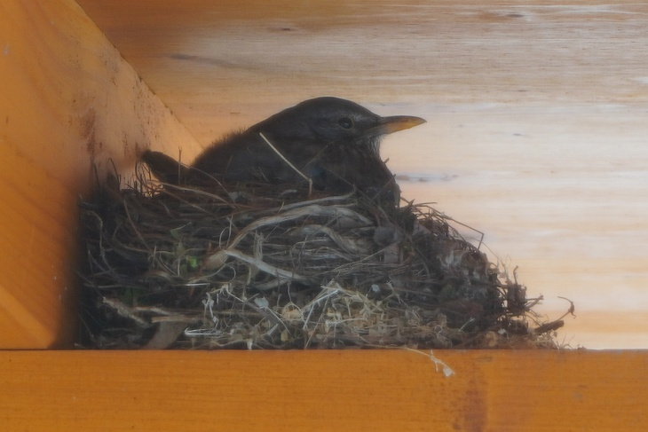 ... Amsel-Weibchen im Nest betrachtet ...