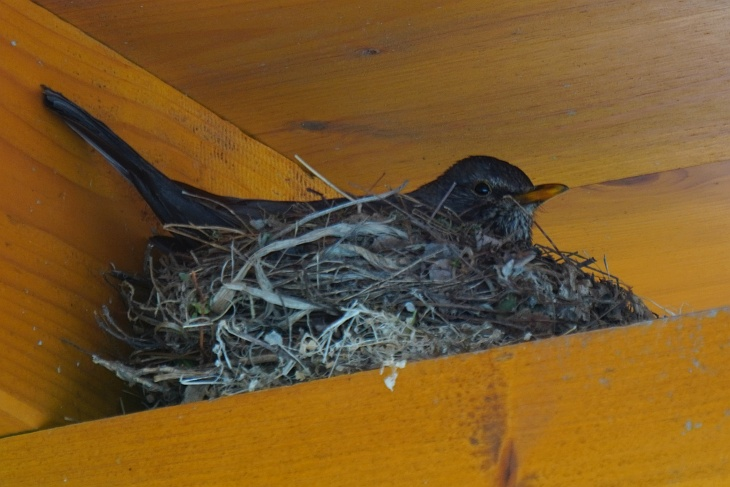 Am 5. Mai - nach dem 4. Ei - haben wir dem Amsel-Weibchen den Namen EILIN gegeben.