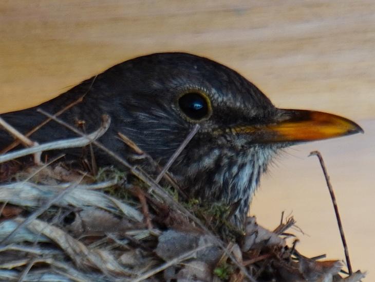 Nach dem vierten Ei hat Eilin das Nest bereits wesentlich seltener und kürzer verlassen.