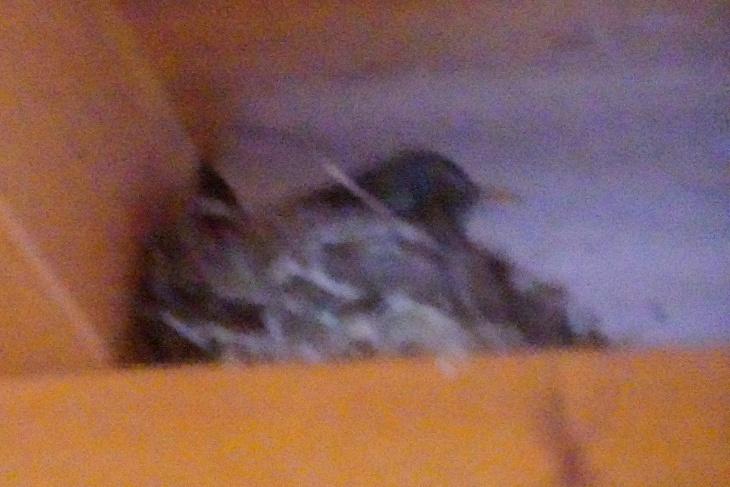 """Nach dem 4. Ei - in der Nacht vom 5. auf den 6. Mai - übernachtet Eilin das erste Mal im Nest. Das Foto entstand in völliger Dunkelheit auf """"Verdacht"""" - Dank ISO 102.400 ist aber schemenhaft etwas zu erkennen."""