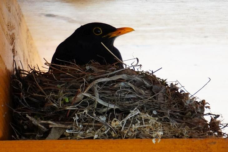 Und schließlich nimmt er mit vollem Schnabel das Nest in Beschlag, verschlingt die Insekten aber selber, nachdem er trotz seiner eindringlichen Laute niemanden angetroffen hat und bleibt ...