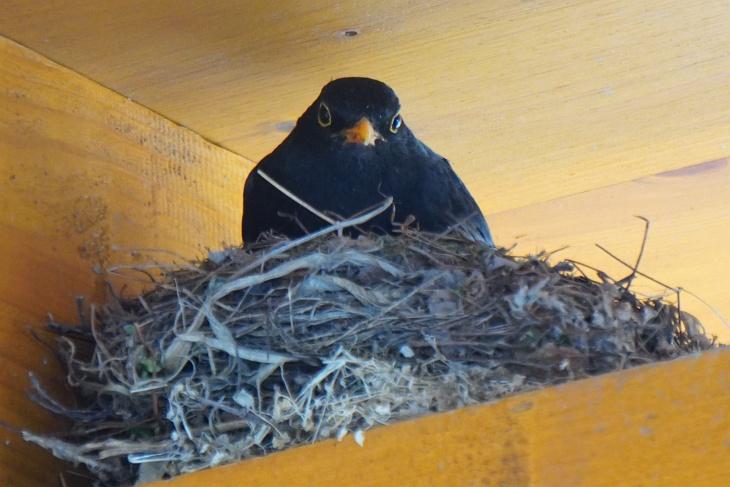 Nur sehr selten - bisher vorrangig noch vor Beginn der durchgängigen Brutzeit - zeigt sich der Amsel-Papa im Nest ...