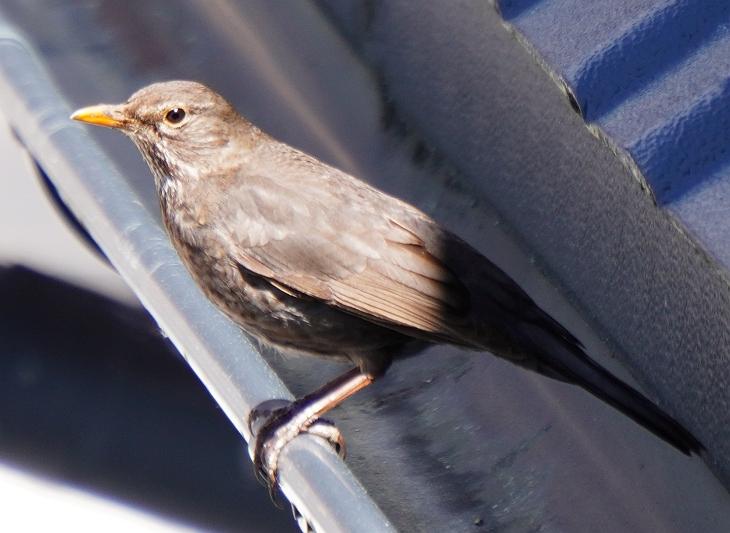 """Eilin wartet """"schimpfend"""" auf der Regenrinne, bis ich endlich von der Terrasse verschwinde, damit sie gefahrlos ins Nest kann."""