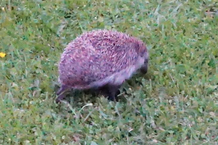 29.05.2020: Nach 21:00 Uhr, bei der Heimkehr von Eilin, zeigt sich auch ein netter Besucher im Garten der Nachbarin. Bei ISO 25600 lässt sich das Rauschen nicht vermeiden, aber zumindest ein Erinnerungsbild in der Abenddämmerung erstellen.
